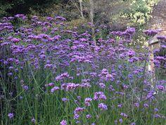 Verbena Bonariensis 'Purple Top' in Victorian Garden at Arlington Court