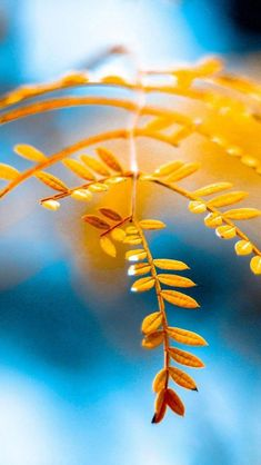 ♀ Bokeh photography nature blue and yellow leaves Mellow Yellow, Blue Yellow, Blue Gold, Yellow Leaves, Orange, Navy Blue, Bokeh Photography, Amazing Photography, Golden Leaves