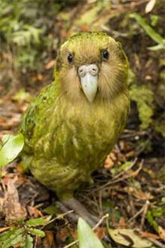 Kakapo - One of the rarest birds of all is New Zealand's kakapo parrot. Only 124 animals remain in the wild—the species has been largely wiped out by introduced predatory mammals such as feral cats.