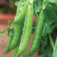 Pea 'Hurst Green Shaft' is double podded, producing particularly heavy yields of up to 11 peas per pod. This second early, wrinkle seeded variety carries its pods upon the top of the stems, making them easier to harvest, with fewer backaches! Vegetable Garden, Garden Plants, Allotment Gardening, Bean Seeds, Growing Gardens, Forest Garden, Fruit And Veg, Planting Seeds