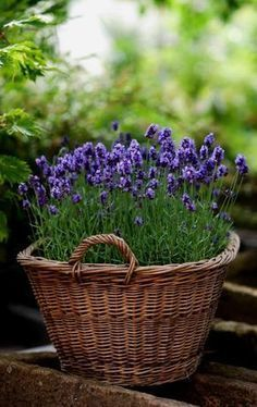 Growing lavender, lavender garden, lavender flowers, how to plant lavender, Growing Lavender, Lavender Flowers, Lavender Plants, Lavander, Planting Lavender, Purple Flowers, Lavender Hair, Easy Garden, Garden Pots