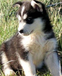 alaskan malamute dog photo | Giant Alaskan Malamute Puppies | Big Dog Breed