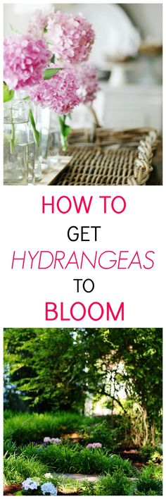 Ive been growing hydrangeas for years and one of the questions I get asked so many times is why are hydrangeas not blooming? Here the answer to that and other hydrangea care questions. Hydrangea Bloom, Hydrangea Care, Hydrangea Not Blooming, Hydrangeas, Garden Art, Garden Tools, Garden Ideas, Easy Garden, Garden Projects