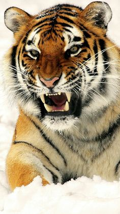 I got the eye of the tiger, a fighter / Dancing through the fire / Cause I am a champion / And you're gonna hear me roar! Nature Animals, Animals And Pets, Cute Animals, Animals In Snow, Tiger Pictures, Animal Pictures, Beautiful Cats, Animals Beautiful, Big Cats