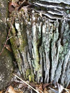 Lichen on wood - look at the colours! Asparagus, Colours, Vegetables, Wood, Studs, Woodwind Instrument, Timber Wood, Vegetable Recipes, Trees