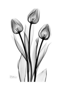 Tall Early Tulips N Black and White Art Print by Albert Koetsier at Art.com