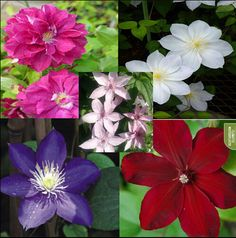 free ship Vine potted garden flowers, no the Clematis 20 plant seeds easy grow Bubble bag Organic * bonsai home Garden Seeds, Planting Seeds, Garden Pots, Potted Garden, Bonsai Garden, Clematis Plants, Clematis Flower, Flower Seeds, Flower Pots