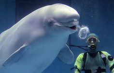 Beluga Whale Blowing Bubble Rings via telegraph.co.uk #Photography #Beluga_Whale #Bubbles #telegraph_co_uk