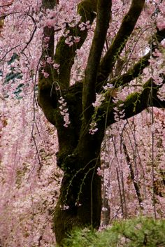 Sakura (cherry blossoms) Kyoto City, Japan