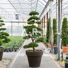 1000 images about arbres nuage japonais bonsai geant on. Black Bedroom Furniture Sets. Home Design Ideas