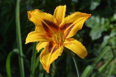 Bonanza – Päivänlilja   Vesan viherpiperryskuvat – puutarha kukkii