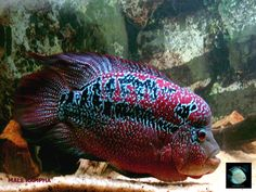 flowerhorn fish pictures | ... Red Warrior Kampha Flowerhorn Cichlid | Tropical~Fish~Tank {VIRT