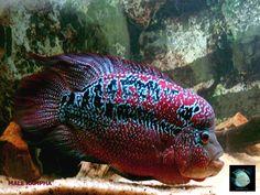 flowerhorn fish pictures | ... Red Warrior Kampha Flowerhorn Cichlid | Tropical~Fish~Tank {VIRT