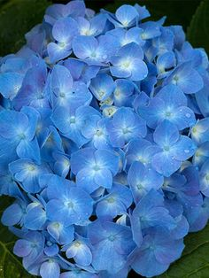 Hydrangea Let's Dance Blue Jangles- prefers morning sun so would be good out front