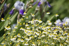 Chamomile Plant Companions: What To Plant With Chamomile - Chamomile tea is an age old remedy for many problems in gardens. Companion planting with chamomile is an even easier way to heal the garden. Learn more about what to plant with chamomile in this article.