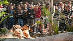 Tiger Tug – Playing Tug of War with a Full-Grown Tiger - Can't decide if I would do this....