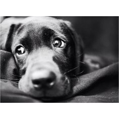 Beautiful black lab puppy. Nothing compares in cuteness.