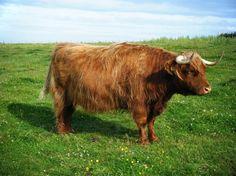 vaca peluda