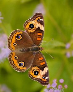 Beautiful Bugs, Beautiful Butterflies, Amazing Nature, Flying Flowers, Butterflies Flying, Butterfly Crafts, Butterfly Flowers, Buckeye Butterfly, Dragonfly Insect