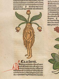 Antiquarian book illustration. Detail of illustration of a female mandrake root  Hortus Sanitatis, 1491