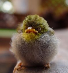 """Disgruntled bird, the """"face only a mother could love"""""""