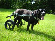 Big ol' Lola in her new Dog Wheelchair