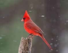 Cardinals in the winter !