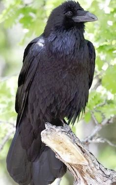 Crows signify 'Intuition & Bending Laws'