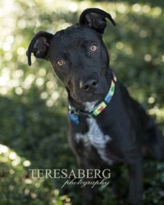 Roman  Labrador Retriever  Pit Bull Terrier Mix • Young • Male • Large  Collin County Humane Society McKinney, TX