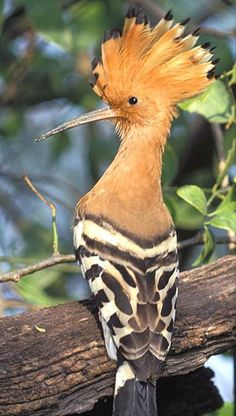 Hoopoe (upupu epops) - It's just fun to say! What an amazing bird. How did God…