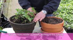 Fred Meyer  Fuchsia Basket Planting & Care