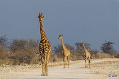 Giraffe family by Ju Wes on 500px