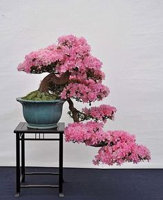 Flowering bonsai plants can be developed from seed or cuttings or also from young trees. Flowering bonsai plants require feeding, watering pruning and training. Flowering Bonsai Tree, Beautiful Tree, Bonsai, Japanese Garden, Plants, Miniature Trees, Amazing Gardens, Ikebana, Azaleas