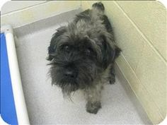 Birmingham, AL - Schnauzer (Miniature) Mix. Meet Tango a Dog for Adoption.