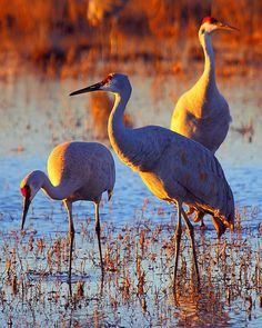 Sunset and sandhill cranes.