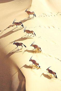 Gemsbok Herd by Michael Poliza