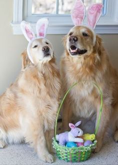 We are the Easter bunnies. | Community Post: 60 Times Golden Retrievers Were So Adorable You Wanted To Cry