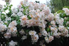 Sally Holmes Rose- just the easiest and most prolific flowering rose to grow