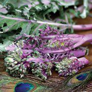 Purple Peacock Broccoli Organic