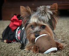 YORKIES~ who ready for some super bowl sunday football? ♥