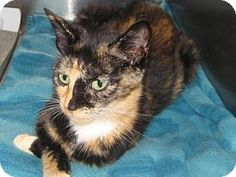 Pictures of sunny (dry creek) a Domestic Shorthair for adoption in Johnson City, TN who needs a loving home.