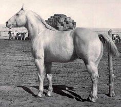 Sir Teddy 1955 pal. st. (Sirlette x Silver Leche by Holy Smoke) He is said to be a true 16H.