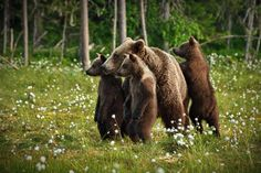 Mama bear with triplets in the woods east from Lake Oulujärvi, Finland/ June 2018 Animal Wallpaper, Colorful Wallpaper, Beautiful Family, Life Is Beautiful, American Black Bear, Mother Bears, Tier Fotos, Bear Cubs, Brown Bear