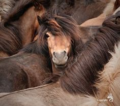 Icelandic horses - by elg Photography