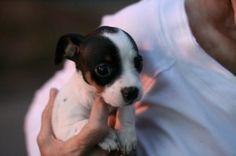 Looks like Bella, except she's American Pitt Bull Terrier.