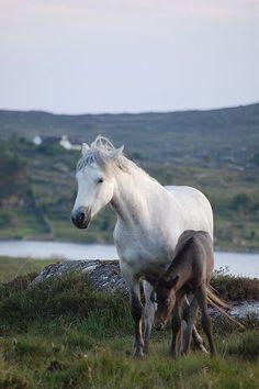 Connemara ponies, Connemara (west coast of Ireland), Co. Galway, Ireland. #IrelandLandscape