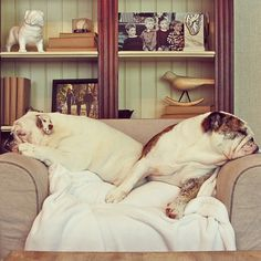 Double headrest. #bulldog #Padgram