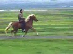 One of the gaits of an Icelandic horse- called aTölt - notice how the rider is not dislodged from his seat by the motion of the animal... i wonder sometimes if this is how the myth of Odin's 8 legged steed came to be... an extension of this smooth gait