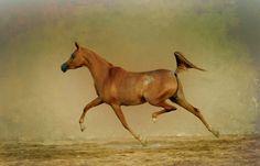 Wild Arabian Horses | Arabian horse 3 by lonly-bm on deviantART
