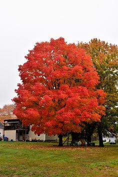 Green Mountain Sugar Maple Acer Saccharum At Connon Nurseries Cbv